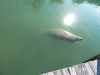 manatee_on_dock